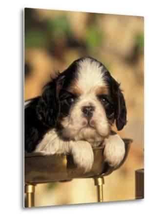 King Charles Cavalier Spaniel Puppy Portrait-Adriano Bacchella-Metal Print