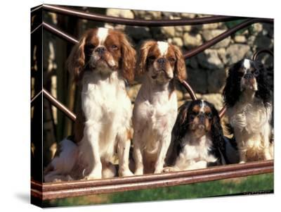 Four Young King Charles Cavalier Spaniels-Adriano Bacchella-Stretched Canvas Print