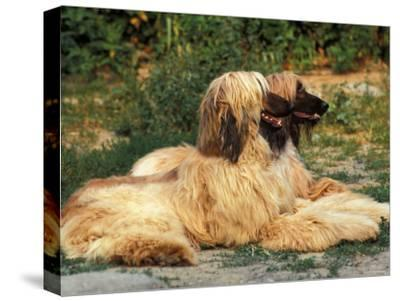 Domestic Dogs, Two Afghan Hounds Lying Side by Side-Adriano Bacchella-Stretched Canvas Print
