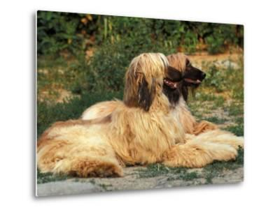 Domestic Dogs, Two Afghan Hounds Lying Side by Side-Adriano Bacchella-Metal Print