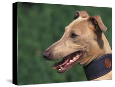 Fawn Whippet Wearing a Collar-Adriano Bacchella-Stretched Canvas Print