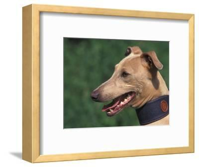Fawn Whippet Wearing a Collar-Adriano Bacchella-Framed Premium Photographic Print