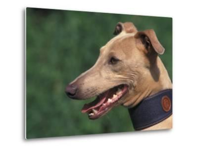 Fawn Whippet Wearing a Collar-Adriano Bacchella-Metal Print