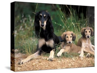 Saluki with Two Puppies-Adriano Bacchella-Stretched Canvas Print