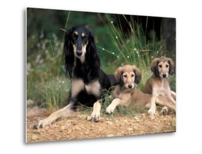 Saluki with Two Puppies-Adriano Bacchella-Metal Print