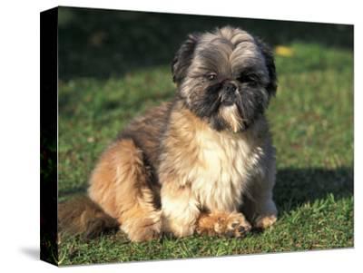 Shih Tzu Puppy Sitting on Grass-Adriano Bacchella-Stretched Canvas Print