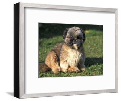 Shih Tzu Puppy Sitting on Grass-Adriano Bacchella-Framed Premium Photographic Print