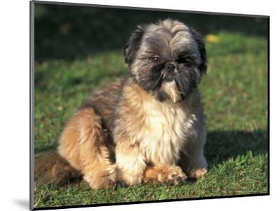 Shih Tzu Puppy Sitting on Grass-Adriano Bacchella-Mounted Premium Photographic Print
