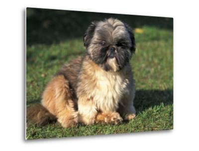 Shih Tzu Puppy Sitting on Grass-Adriano Bacchella-Metal Print