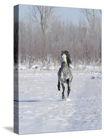 Grey Andalusian Stallion Cantering in Snow, Longmont, Colorado, USA-Carol Walker-Stretched Canvas Print