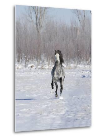 Grey Andalusian Stallion Cantering in Snow, Longmont, Colorado, USA-Carol Walker-Metal Print