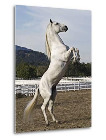 Grey Andalusian Stallion Rearing, Ojai, California, USA-Carol Walker-Metal Print