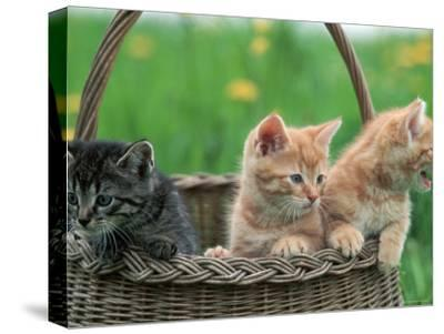 Domestic Kittens in Basket-Lucasseck-Stretched Canvas Print