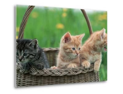 Domestic Kittens in Basket-Lucasseck-Metal Print