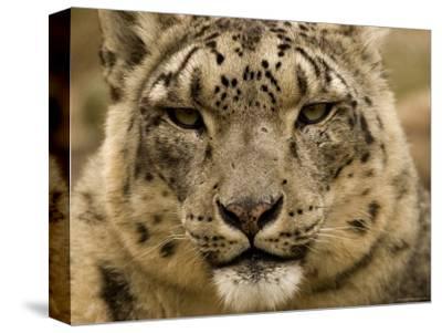 Closeup of a Captive Snow Leopard, Massachusetts-Tim Laman-Stretched Canvas Print