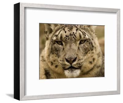 Closeup of a Captive Snow Leopard, Massachusetts-Tim Laman-Framed Photographic Print