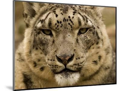 Closeup of a Captive Snow Leopard, Massachusetts-Tim Laman-Mounted Photographic Print