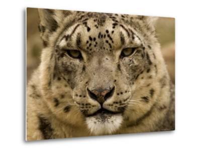 Closeup of a Captive Snow Leopard, Massachusetts-Tim Laman-Metal Print