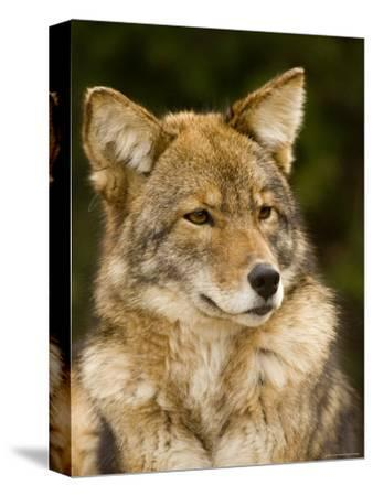 Closeup Portrait of a Captive Coyote, Massachusetts-Tim Laman-Stretched Canvas Print