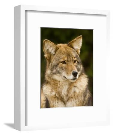 Closeup Portrait of a Captive Coyote, Massachusetts-Tim Laman-Framed Photographic Print