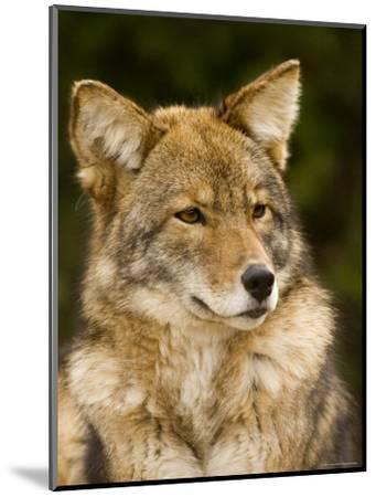 Closeup Portrait of a Captive Coyote, Massachusetts-Tim Laman-Mounted Photographic Print