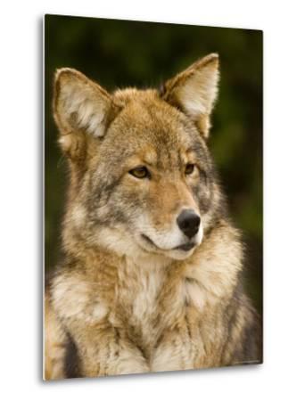 Closeup Portrait of a Captive Coyote, Massachusetts-Tim Laman-Metal Print