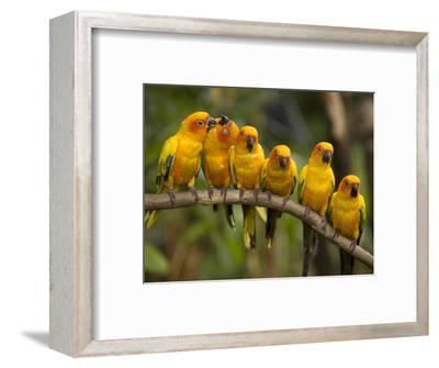 Closeup of Six Captive Sun Parakeets-Tim Laman-Framed Photographic Print