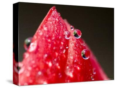 Close View of Drops of Water on a Red Rose Bud, Groton, Connecticut-Todd Gipstein-Stretched Canvas Print