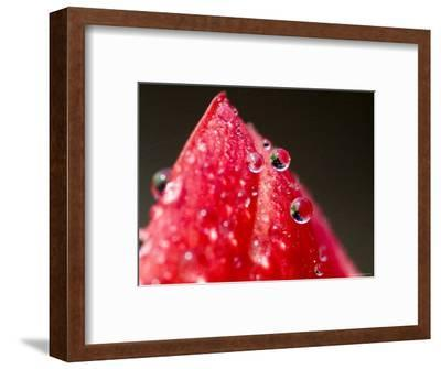 Close View of Drops of Water on a Red Rose Bud, Groton, Connecticut-Todd Gipstein-Framed Photographic Print