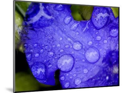 Close View of Water Drops on an Insect Damaged Petunia Petal, Groton, Connecticut-Todd Gipstein-Mounted Photographic Print