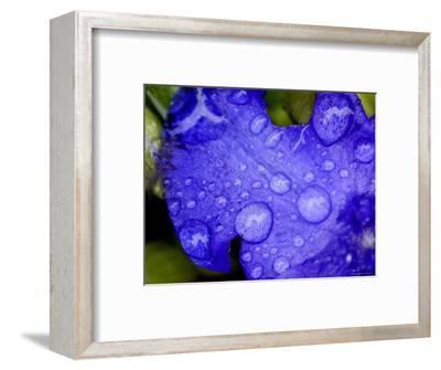 Close View of Water Drops on an Insect Damaged Petunia Petal, Groton, Connecticut-Todd Gipstein-Framed Photographic Print