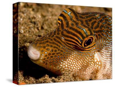 Closeup of a Spotted Toby, Bali, Indonesia-Tim Laman-Stretched Canvas Print