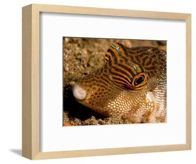 Closeup of a Spotted Toby, Bali, Indonesia-Tim Laman-Framed Photographic Print