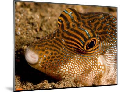 Closeup of a Spotted Toby, Bali, Indonesia-Tim Laman-Mounted Photographic Print