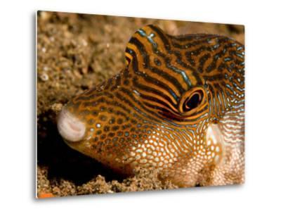 Closeup of a Spotted Toby, Bali, Indonesia-Tim Laman-Metal Print