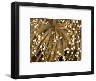 Closeup Detail of a Sea Anemone, Bali, Indonesia-Tim Laman-Framed Photographic Print