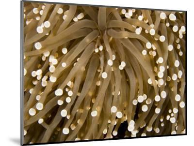 Closeup Detail of a Sea Anemone, Bali, Indonesia-Tim Laman-Mounted Photographic Print