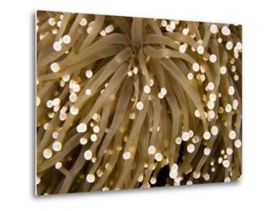 Closeup Detail of a Sea Anemone, Bali, Indonesia-Tim Laman-Metal Print