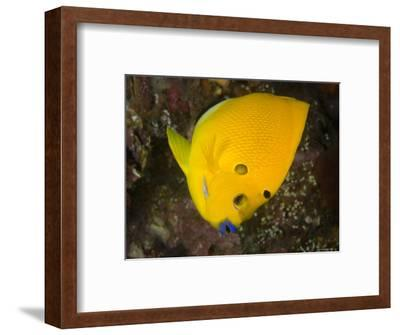 Closeup of a Lemonpeel Angelfish, Bali, Indonesia-Tim Laman-Framed Photographic Print