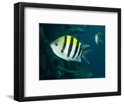 Closeup of an Indo-Pacific Sargent, Bali, Indonesia-Tim Laman-Framed Photographic Print