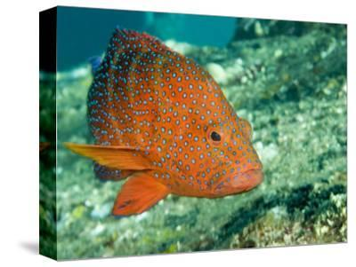 Closeup of a Blue-Spotted Grouper, Also Know as a Coral Hind, Bali, Indonesia-Tim Laman-Stretched Canvas Print