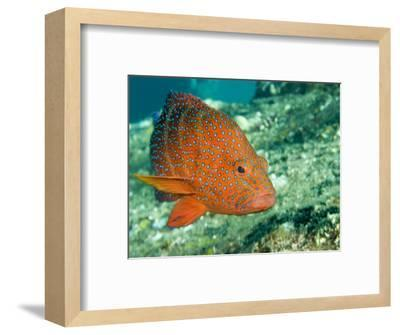 Closeup of a Blue-Spotted Grouper, Also Know as a Coral Hind, Bali, Indonesia-Tim Laman-Framed Photographic Print