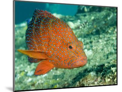 Closeup of a Blue-Spotted Grouper, Also Know as a Coral Hind, Bali, Indonesia-Tim Laman-Mounted Photographic Print