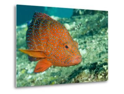 Closeup of a Blue-Spotted Grouper, Also Know as a Coral Hind, Bali, Indonesia-Tim Laman-Metal Print