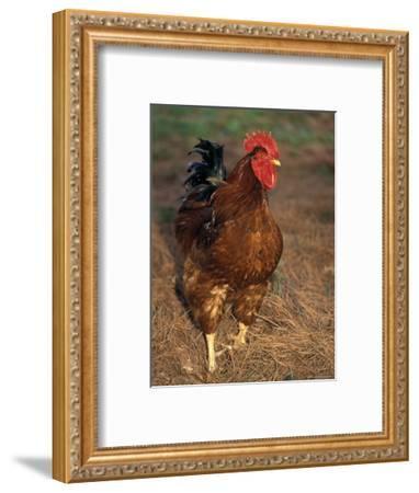 Bantam Hen Walks on Hay Outdoors-Richard Nowitz-Framed Photographic Print