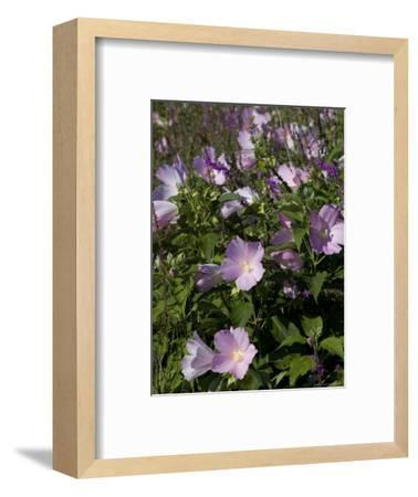 Close View of a Field of Morning Glory, Groton, Connecticut-Todd Gipstein-Framed Photographic Print