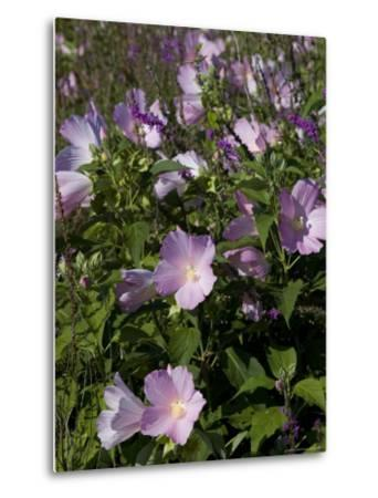 Close View of a Field of Morning Glory, Groton, Connecticut-Todd Gipstein-Metal Print