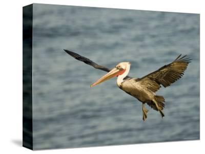 Brown Pelican in Flight, California-Tim Laman-Stretched Canvas Print