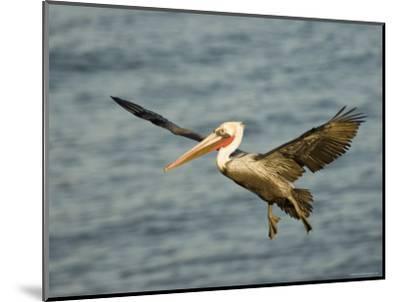 Brown Pelican in Flight, California-Tim Laman-Mounted Photographic Print