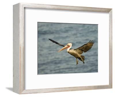 Brown Pelican in Flight, California-Tim Laman-Framed Photographic Print